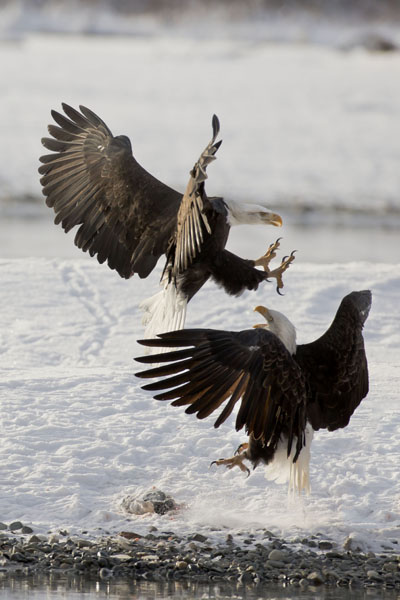 bald eagle confrontation