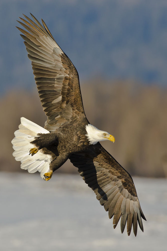 bald eagles landing gear down
