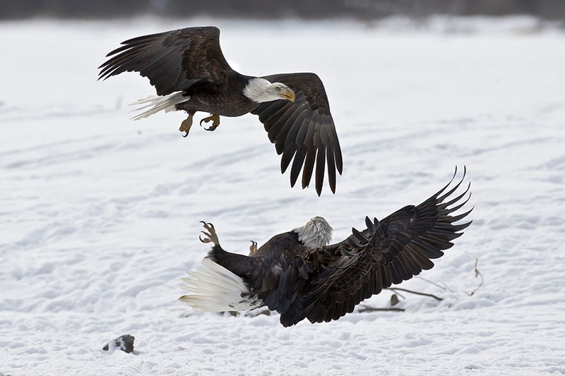 bald eagle fight over food
