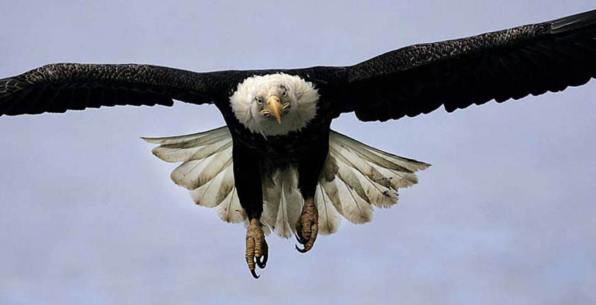 bald eagle in flight photo
