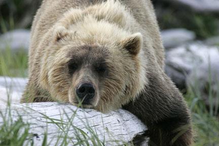bears_B7B1726.jpg