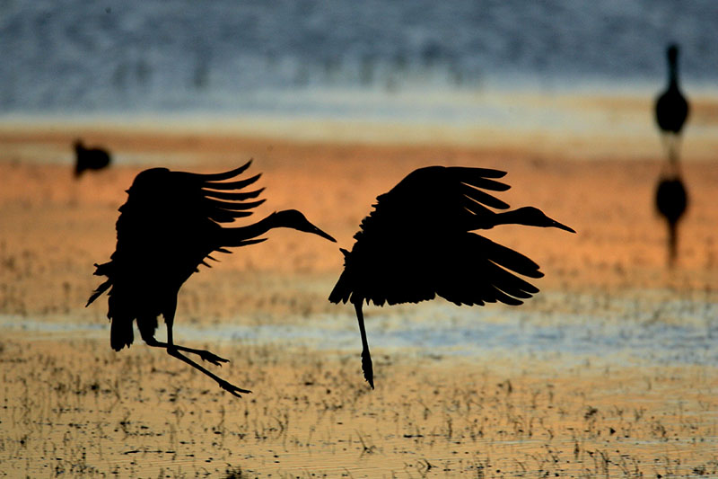 sandhill cranes silhouette flight photo