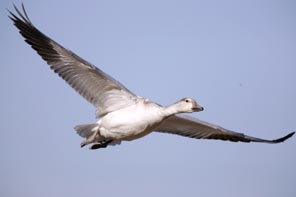 snow goose in flight photot