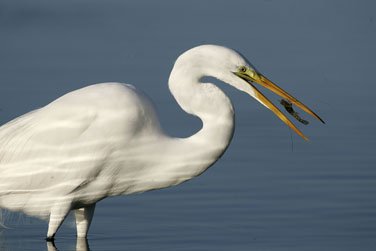 great egret with shrimp photo