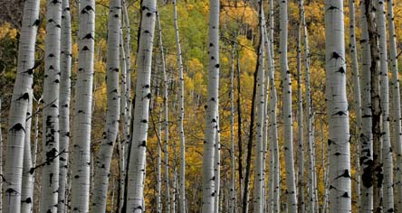 colorado fall aspens photo