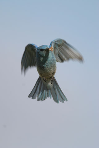 western bluebird in flight photo