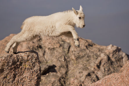 baby mountain goat leaping
