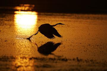 great blue heron taking flight at sunrise