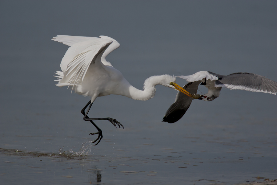 gull stealing meal from great egret