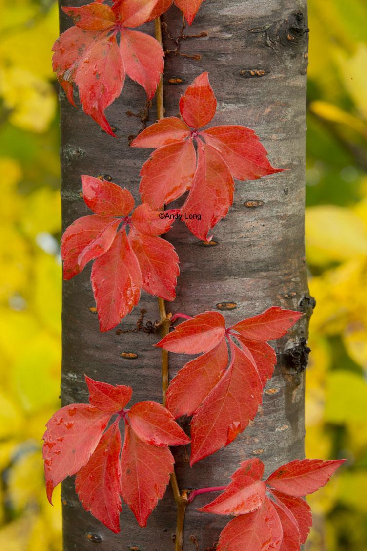 red leaf vine up tree acadia fall