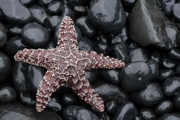 sea star on newport cobble beach photograph, oregon coast photo workshop