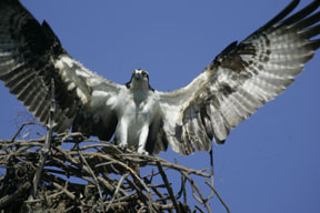 osprey landing at nest photo