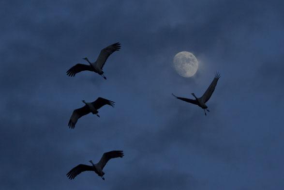 sandhill cranes silhouette bosque del apache