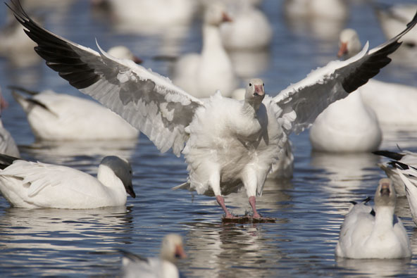 snow goose landing on water