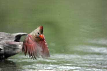 female cardinal in flight photo