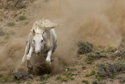 wild horse charging down hill