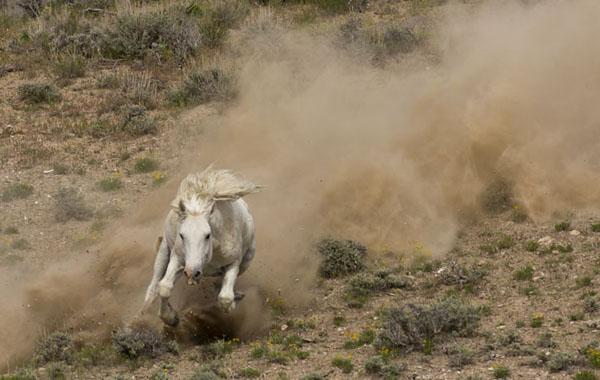 wild horse stallion charding down the hill - sand wash basin
