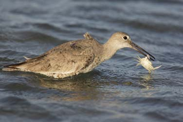 willet with crab photo