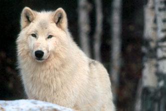 Ayla and Theron's Bio Wolf_lookingon